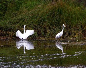 A Great Egret nabs a fish by Bettye Winters