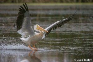 American White Pelican by Craig Tooley