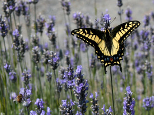 An Anise Swallowtail nectaring on Lavender by Drew Fagan