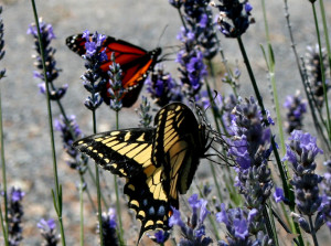 Anise Swallowtail and a Monarch Butterfly by Drew Fagan