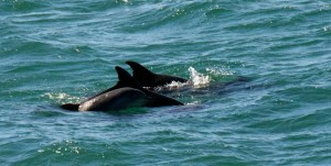 Bottle-nosed Dolphins by Allen Vinson