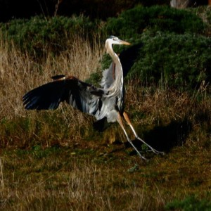 Great Blue Heron comes in for the Landing by Robert Scarola