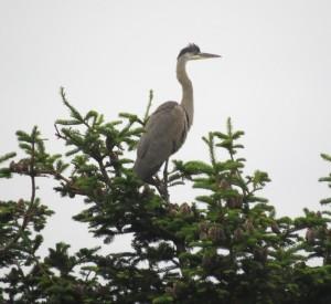 Great Blue Heron watching & waiting by Robert Scarola