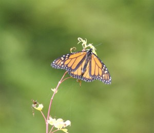 Monarch Butterfly in the garden by Tom Eckles (Large)