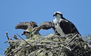 Osprey with her chick by Jim O'Brien
