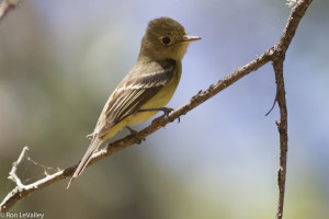 Pacifc Slope Flycatcher by Ron LeValley