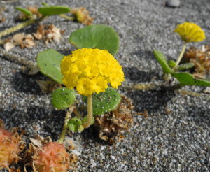 Yellow Sand Verbena by Mary Sue Ittner