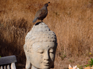 A CA Quail stands guard on top of a Buddha statue by Mike Mee