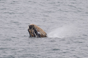 A Pre-adult Gray Whale spouts by Ken Bailey