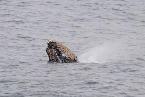 A Pre-adult Gray Whale spouts by Ken Bailey