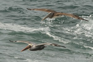 Adult and juvenile Brown Pelican headed south by Craig Tooley