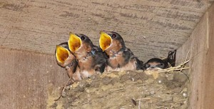 Barn Swallow chicks - maybe the one of the right isn't hungry, by Allen Vinson