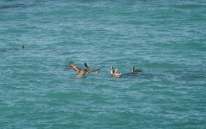 Brakes - a Brown Pelican arrives by Jeanne Jackson