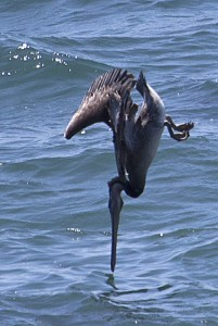 Brown Pelican plunge diving cropped by Patrick Killen