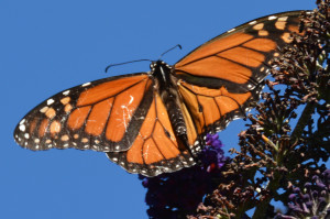 First Monarch of the season by Clay Yale