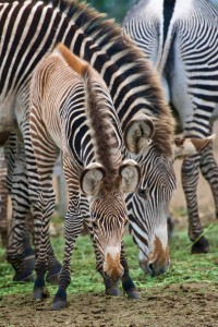 Grevy's Zebra baby with mom APRIL by Craig Tooley
