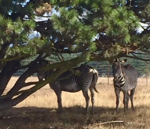 Grevy's Zebras in the shade by Judy Mello