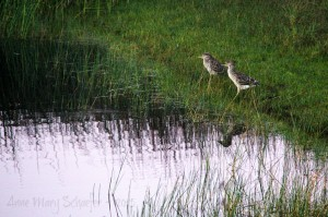 Juvenile Black-crowned Night-Herons by Anne Mary Schaeffer