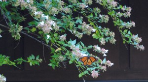 Monarch Butterfly nectaring on abelia by Jeanne Jackson