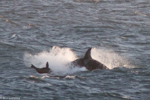Orca nabs a Sea Lion by Ron LeValley