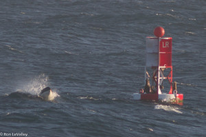 Orca spots a Sea Lion on bell buoy by Ron LeValley