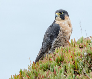 Peregrine Falcon by Paul Brewer