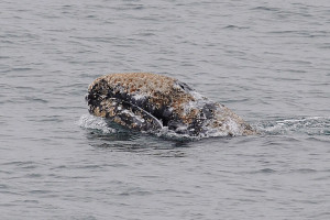Pre-adult Gray Whale with a load of barnacles by Ken Bailey