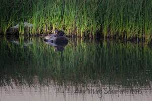River Otter on a log by Anne Mary Schaeffer