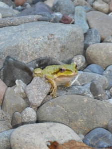 Sierren Treefrog on the banks of the Gualala River by Karen Tracy