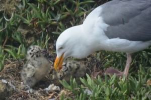 Western Gull mother feeding her chicks by Craig Tooley