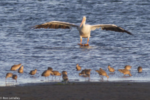 American White Pelican coming in for a landing, watched by Marbled Godwits by Ron LeValley