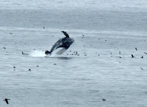 Whale breach near Shell Beach