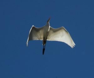 Great Egret 2 by Bob Rutemoeller