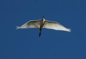 Great Egret 3 by Bob Rutemoeller