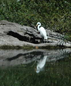 Great Egret reflected in the Gualala River by Bob Rutemoeller