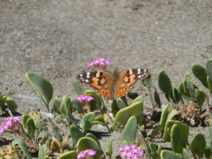 North Coast Pink Sand-Verbena with a Painted Lady by Peter Baye