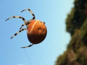 Pumpkin Orb Weaver Spider by Kathy Gustafson