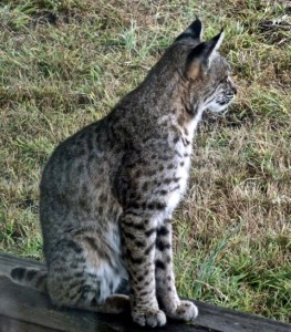The interesting markings of a Bobcat by Carolyn André