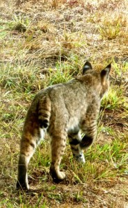 The tail is how a Bobcat got its name by Carolyn André