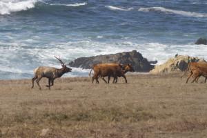 Tule Elk Stewart's Point SON 10-10-15 by Ron LeValley 222926