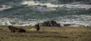 Tule Elk bugeling by Rozanne Rapozo