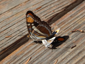 Early October mating CA Sister butterflies by Peter Baye