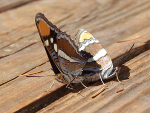 Mating California Sister butterflies by Peter Baye