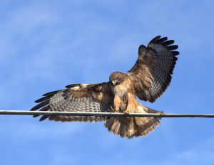 Red-tailed Hawk by Mark Ricci