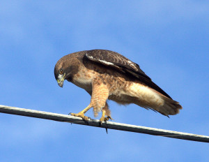 Red-tailed Hawk looking for prey by Mark Ricci