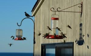 A charm of Anna's Hummingbirds by Kathy Haas