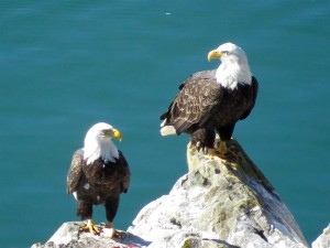 Bald Eagle pair perched on rocks by Joan Bacci (Large)