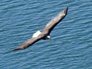 Bald Eagle soaring over the Russian River by Joan Bacci