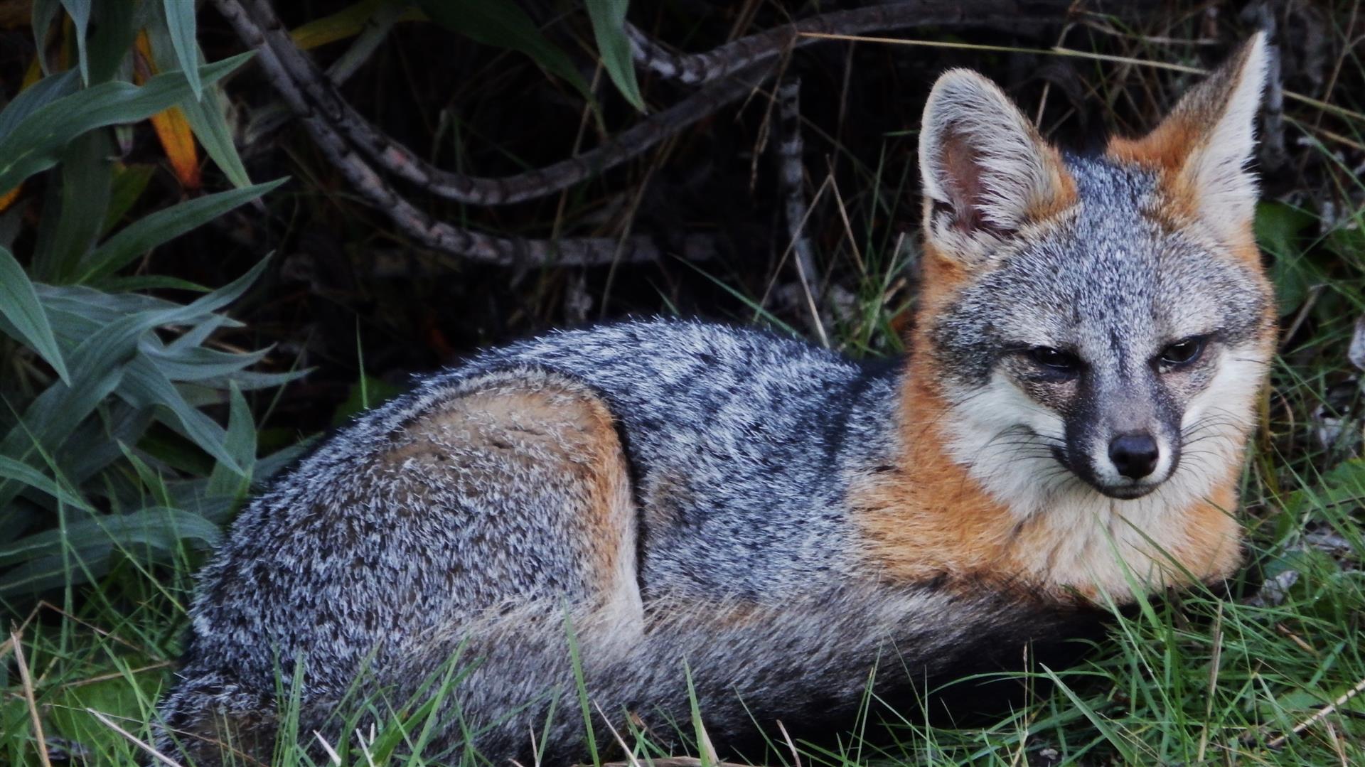 Gray Fox – Mendonoma Sightings
