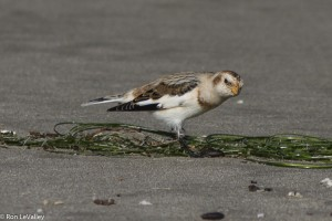 Snow Bunting by Ron LeValley